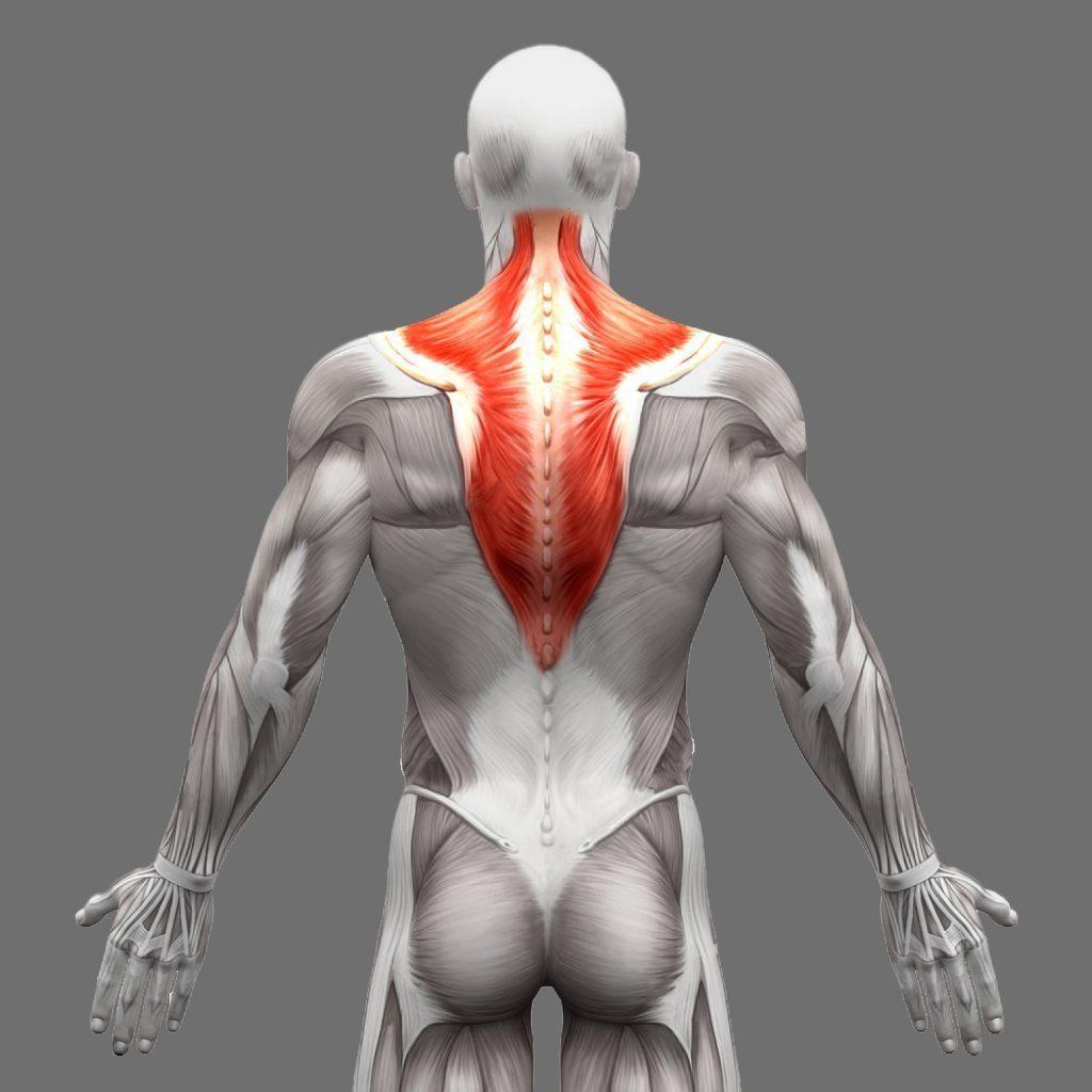 stock photo músculos de anatomía trapecio aislados en blanco d ilustración