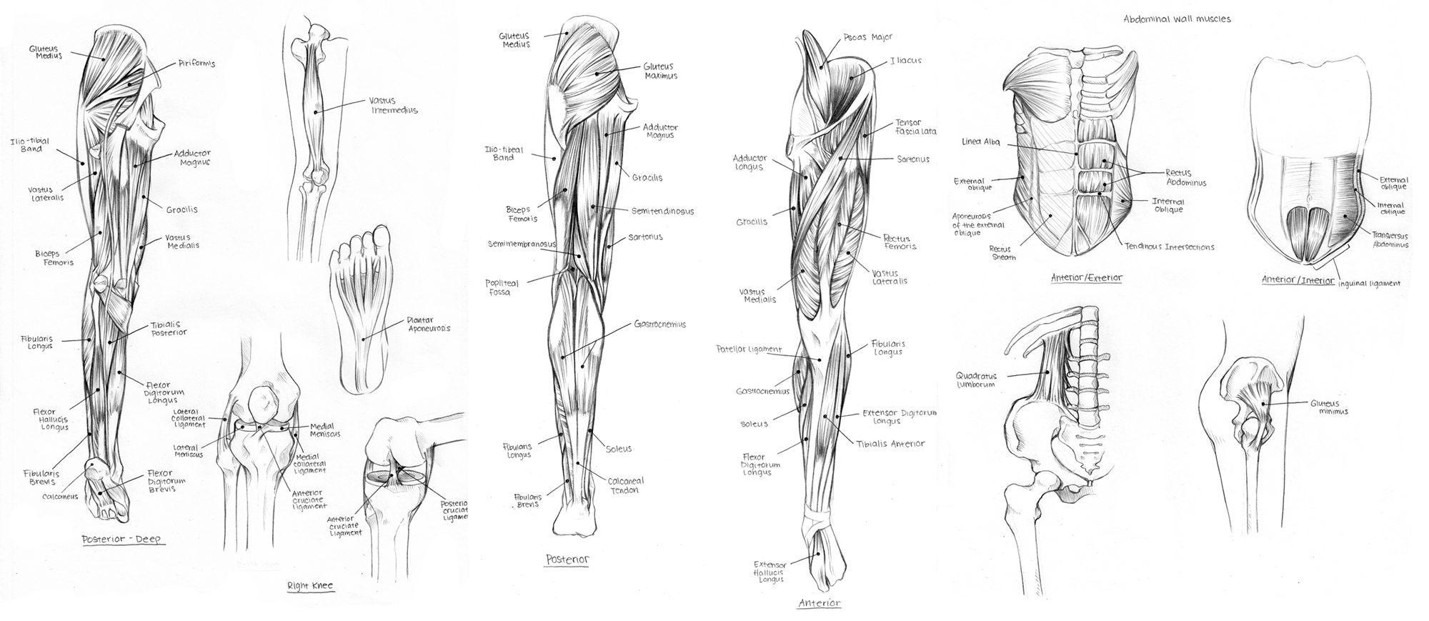 Diagrama de nervios en la pierna superior - El quiropráctico de El ...