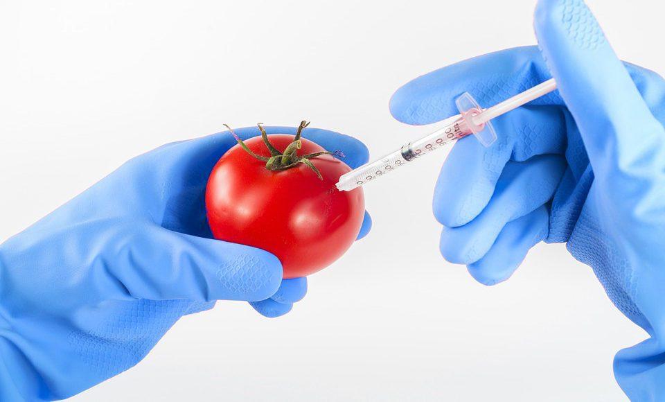 Tomate GM