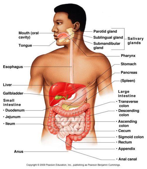 Anatomía del sistema digestivo | El Quiropráctico El Paso, TX