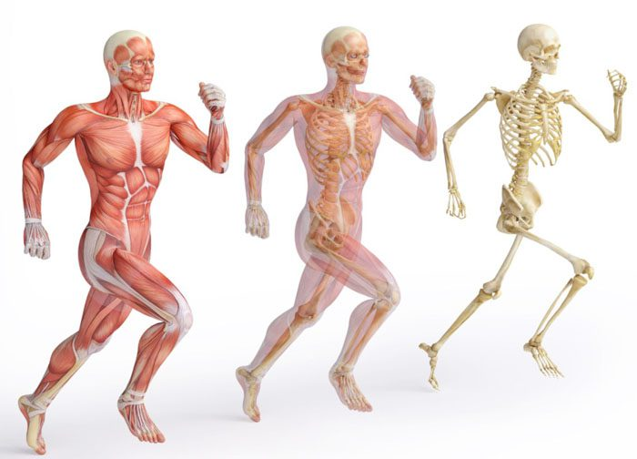 Sistema musculoesquelético humano